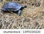 Stock photo the asian forest tortoise manouria emys also known as the asian brown tortoise 1395220220