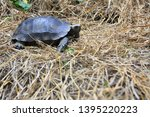Stock photo the asian forest tortoise manouria emys also known as the asian brown tortoise 1395220223