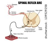 Spinal Reflex Arc, vector illustration (for basic medical education, for clinics & Schools)