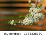 blooming plum tree closeup.... | Shutterstock . vector #1395338390