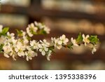 blooming plum tree closeup.... | Shutterstock . vector #1395338396