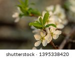 blooming plum tree closeup.... | Shutterstock . vector #1395338420