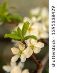 blooming plum tree closeup.... | Shutterstock . vector #1395338429
