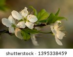 blooming plum tree closeup.... | Shutterstock . vector #1395338459