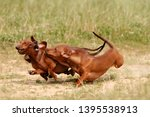 Two Red Dachshund Running In...