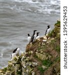 Guillemots Standing On A Cliff...