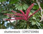 The fruit of an Australian Umbrella Tree (Schefflera actinophylla) in its native rainforest near Kuranda, Queensland.  The Umbrella Tree is considered an invasive weed in some other regions.