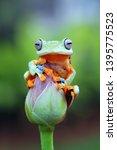Javan tree frog closeup face on bud, Kermit Indonesian gliding tree frog on bud