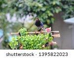 taiwan blue magpie  urocissa...   Shutterstock . vector #1395822023