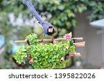 taiwan blue magpie  urocissa...   Shutterstock . vector #1395822026