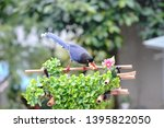 taiwan blue magpie  urocissa...   Shutterstock . vector #1395822050