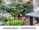 taiwan blue magpie  urocissa...   Shutterstock . vector #1395822056
