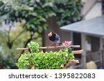 taiwan blue magpie  urocissa...   Shutterstock . vector #1395822083