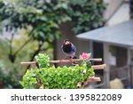 taiwan blue magpie  urocissa...   Shutterstock . vector #1395822089