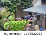 taiwan blue magpie  urocissa...   Shutterstock . vector #1395822113