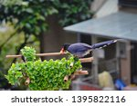 taiwan blue magpie  urocissa...   Shutterstock . vector #1395822116