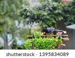taiwan blue magpie  urocissa...   Shutterstock . vector #1395834089