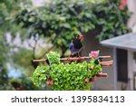 taiwan blue magpie  urocissa...   Shutterstock . vector #1395834113