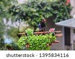 taiwan blue magpie  urocissa...   Shutterstock . vector #1395834116