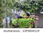 taiwan blue magpie  urocissa...   Shutterstock . vector #1395834119