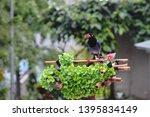 taiwan blue magpie  urocissa...   Shutterstock . vector #1395834149
