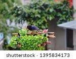 taiwan blue magpie  urocissa...   Shutterstock . vector #1395834173