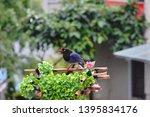 taiwan blue magpie  urocissa...   Shutterstock . vector #1395834176
