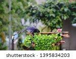 taiwan blue magpie  urocissa...   Shutterstock . vector #1395834203