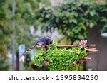 taiwan blue magpie  urocissa...   Shutterstock . vector #1395834230