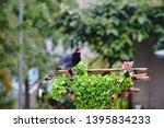taiwan blue magpie  urocissa...   Shutterstock . vector #1395834233