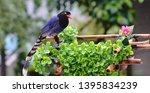 taiwan blue magpie  urocissa...   Shutterstock . vector #1395834239