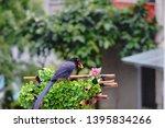 taiwan blue magpie  urocissa...   Shutterstock . vector #1395834266