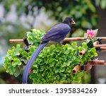 taiwan blue magpie  urocissa...   Shutterstock . vector #1395834269