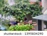 taiwan blue magpie  urocissa...   Shutterstock . vector #1395834290