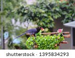 taiwan blue magpie  urocissa...   Shutterstock . vector #1395834293