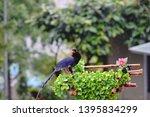 taiwan blue magpie  urocissa...   Shutterstock . vector #1395834299