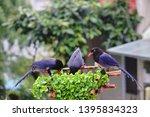 taiwan blue magpie  urocissa...   Shutterstock . vector #1395834323