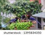 taiwan blue magpie  urocissa...   Shutterstock . vector #1395834350