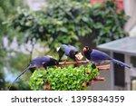 taiwan blue magpie  urocissa...   Shutterstock . vector #1395834359