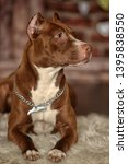 brown with white pit bull... | Shutterstock . vector #1395838550