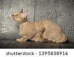 devon rex  cat on grey... | Shutterstock . vector #1395838916