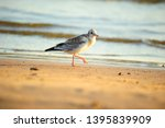 seagull walks on the sand at... | Shutterstock . vector #1395839909