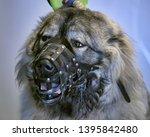 caucasian shepherd in a muzzle | Shutterstock . vector #1395842480