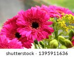 Pink Gerbera Daisy Flowers With ...