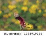 Butterfly Of Anatolian Ferret   ...
