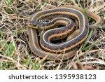 Common Garter Snake  Thamnophi...