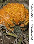 Warty Pumpkin Waiting In The...