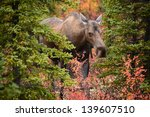 Wild Female Moose In Denali...