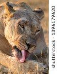 Portrait Of A Big Lioness...