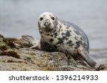 Grey Seal Looking At Camera ...